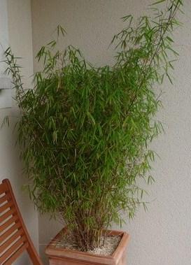 Photo de mon bambou au jardin forum de jardinage - Bambou nain en pot ...